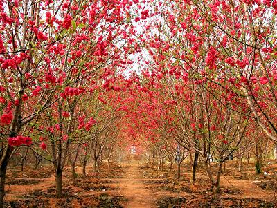 赏完桃林,走在学校也是一片舒心,羊肠似的鹅卵石小道,通向幽处.图片